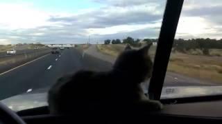 Смотреть онлайн Кошка в машине испугалась моста