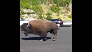 animale bizoni pe strada