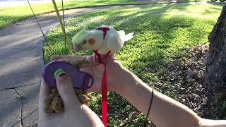 Taki's First Walk | Aviator Harness Training