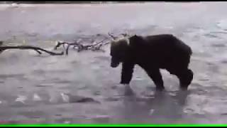 Bear Catching a Fish From River
