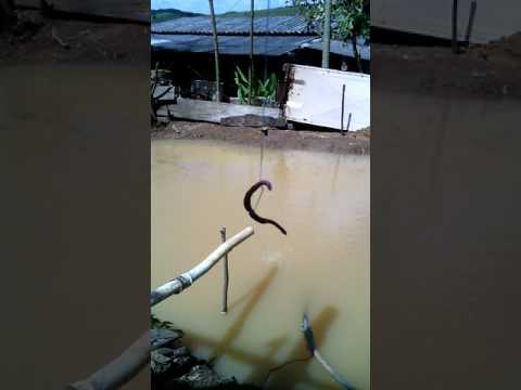 Brincando de pescaria sem ansol no lago em aracitaba MG