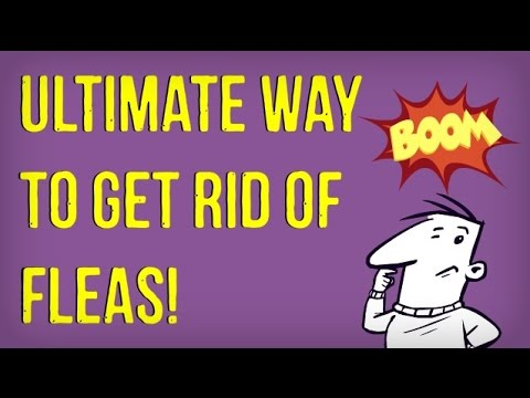 Video How to Get Rid of Fleas in the House | Best Way to Kill Fleas on Dogs and Cats