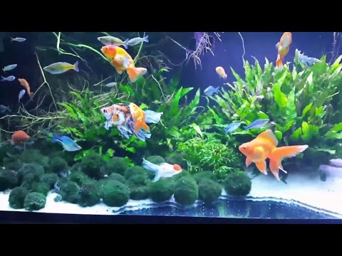 The Beautiful Planted 145 Gallon Fancy Goldfish, Rainbow Mix and Corydoras Tank!