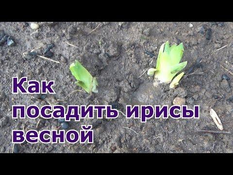 Как посадить ирисы весной