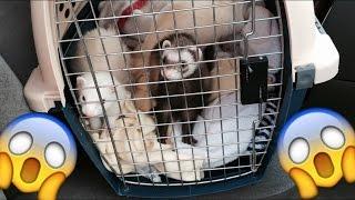♡Getting My First Ferrets♡