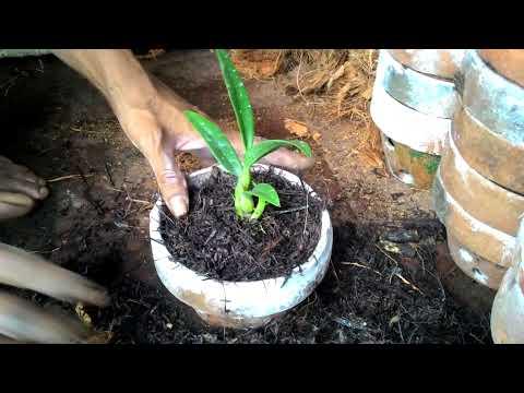 Video Cara menanam anggrek.