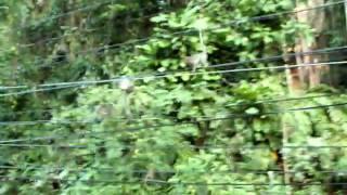 preview picture of video 'IMGP2172 scimmie in libertà'