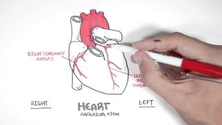 Cardiology - Coronary Blood Supply - YouTube