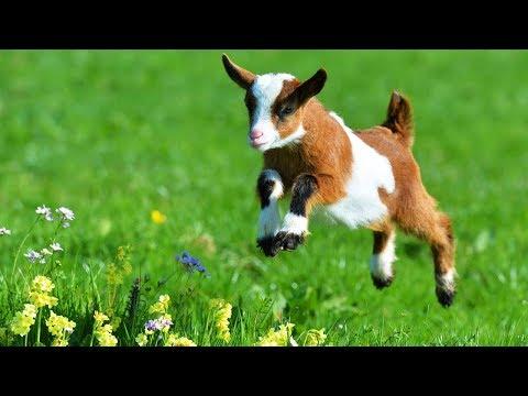 Découvre la ferme : la chèvre