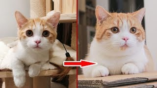 [Cat Live] Zhupi's growing-up diary: I wonder I have a cat or a pig sometimes…