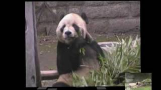 preview picture of video 'Panda Bears in China Zoo'