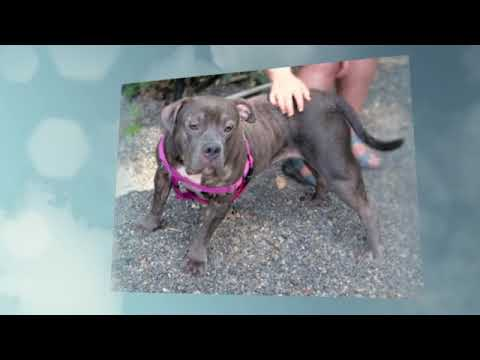 Pookie, an adopted Pit Bull Terrier in Port Townsend, WA