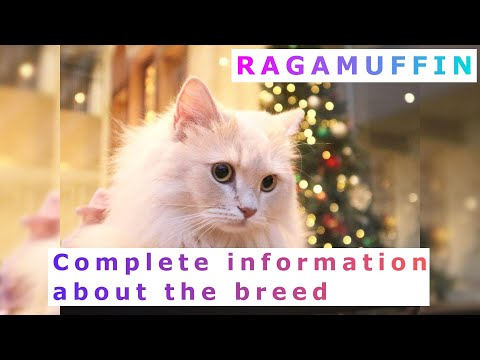 , title : 'Ragamuffin or Liebling. Pros and Cons, Price, How to choose, Facts, Care, History
