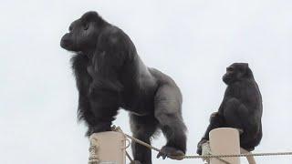 Shabani シャバーニ Gorilla family is energetic. ゴリラの家族は元気です キヨマサ、アニー、アイ、ネネ  Kiyomasa Nene Ai Annie - #64