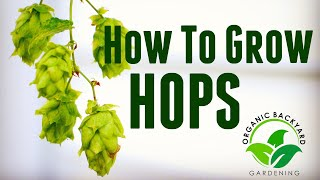 How To Grow Hops In Containers At Home For Beer Brewing   Backyard Growing Guide