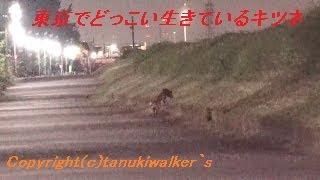 東京☆地域絶滅危惧種多摩川のホンドギツネ