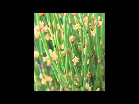 ХВОЙНИК  (EPHEDRA)  сем. Хвойниковые (Ephedraceae)