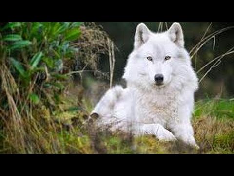 #Paws by Claws ep.13 #kristina kashytska #wolf toys