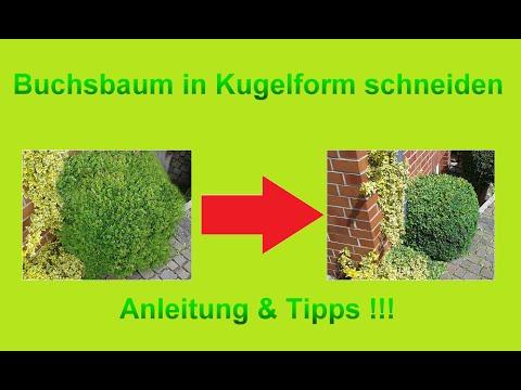 Buchsbaum Kugel von freier Hand schneiden / Buchs / Busch Kugelform ohne Schablone in Form schneiden