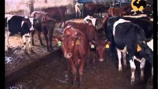 Смотреть онлайн Красно горбатовская порода коров
