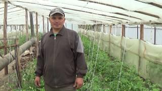 Формирование куста у низкорослых томатов видео