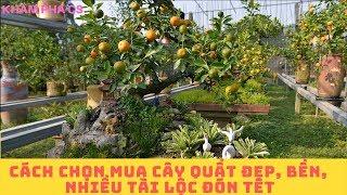 [Tết và mùa Xuân] Cách chọn mua cây quất đẹp, bền, nhiều tài lộc đón Tết