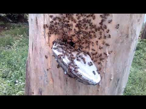 КОЛОДУ ПЧЕЛЫ ТОЖЕ ПОЛИРУЮТ!!! бортевое пчеловодство.