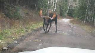 Bull Moose Charges Truck