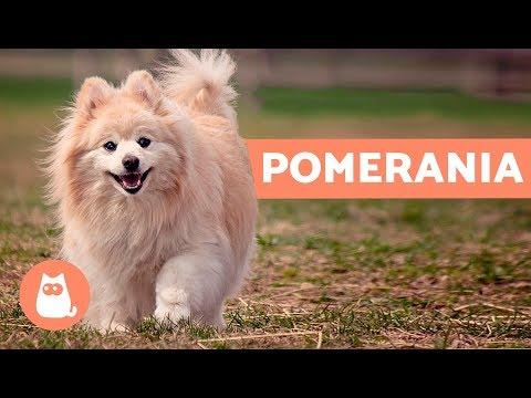 Volpino di Pomerania: storia e caratteristiche – Cani PICCOLI adorabili!