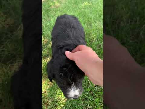 Tansy is a sweet little bernedoodle puppy