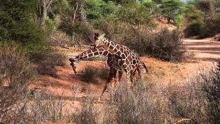 FUJIFILM Kenia Expedition Giraffes