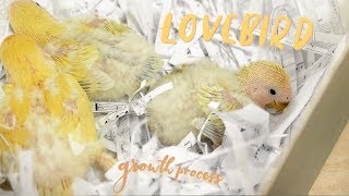 Lovebird growth process 🐣🐥🐤 (splayed legs and how to fix it)