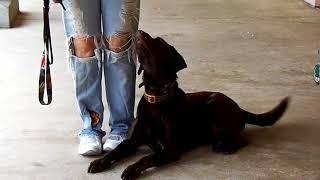 Copy of Chocolate Labrador Titus SUPER SLO MO Dogtra E Collar