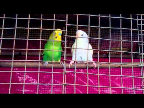 How to breed Budgies at Home  - Youtube Download