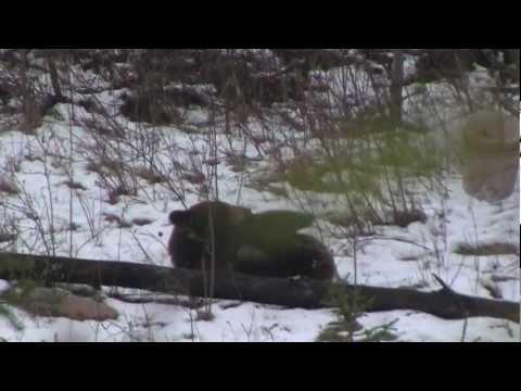 Cinnamon Black Bear harvested in spring snow. Alberta, Canada