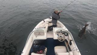 Fly fishing for Halibut in San Diego Bay