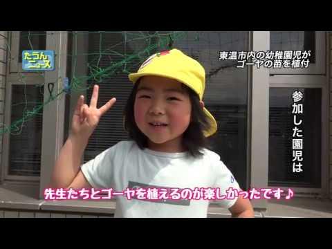 【4K】たうんニュース2019年5月「東谷幼稚園の園児がゴーヤの苗を植え付け」