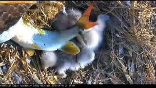 AEF SM Eagle Cam 4-10-18: The Fish Bonked Back!