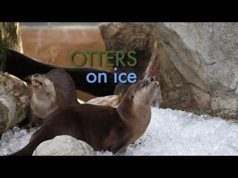 "Watch: This Year's ""Otters on Ice"" Ballet, Courtesy of the San Francisco Zoo"