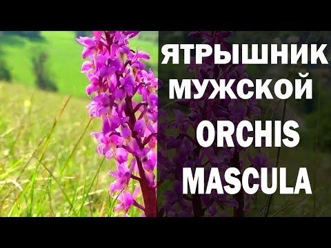 ЯТРЫШНИК МУЖСКОЙ ORCHIS MASCULA ДЛЯ МУЖЧИН И НЕ ТОЛЬКО