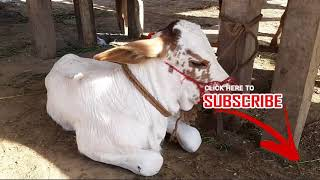 PURE Australian Holstein Friesian Cow Calf in Lahore Cow and Bakra