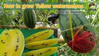 Brilliant Idea to Grow Yellow Watermelon in Small Space for Beginner / Seeds to Harvest by NY SOKHOM