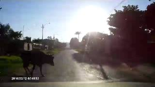 preview picture of video 'ACCIDENTE VACA SUELTA LIMPIO -PARAGUAY  (DASH -CAM)'