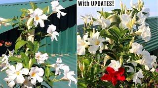 How to GROW Mandevilla Plants & Get MAXIMUM Flowers