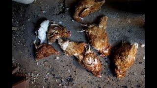 НЕИЗВЕСТНЫЕ УБИЛИ😢 БОЛЕЕ 100 КУР!🐣 Огромные потери в хозяйстве!