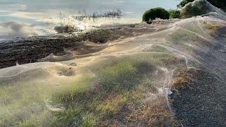 video: Watch: Huge spider web blankets bushland in Australia