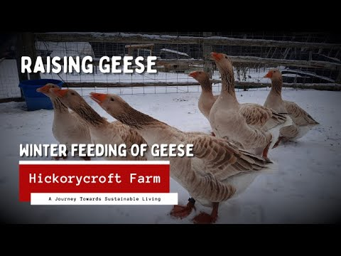 , title : 'American Buff Geese - Winter Feeding