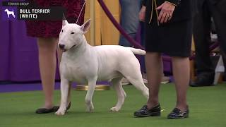 Bull Terriers (White) | Breed Judging 2020