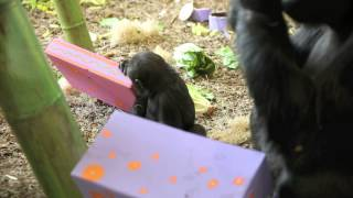 Birthday Treats For Baby Gorillas