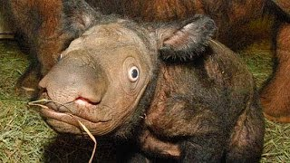 Sumatran Rhinoceros - Endangered Species